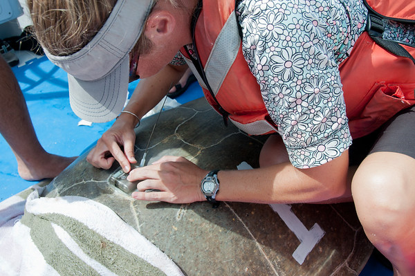 USGS biologist placing the satellite tag on the shell