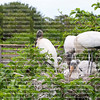Wood stork family sits in a large nest steps away from the boardwalk at Wakodahatchee Wetlands in Delray Beach, Florida, USA.