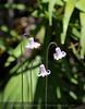Pine Hyacinths