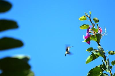 hummingbird-001