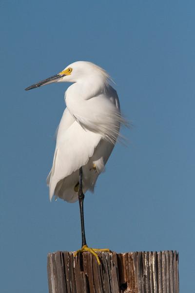 snowy egret, estero island