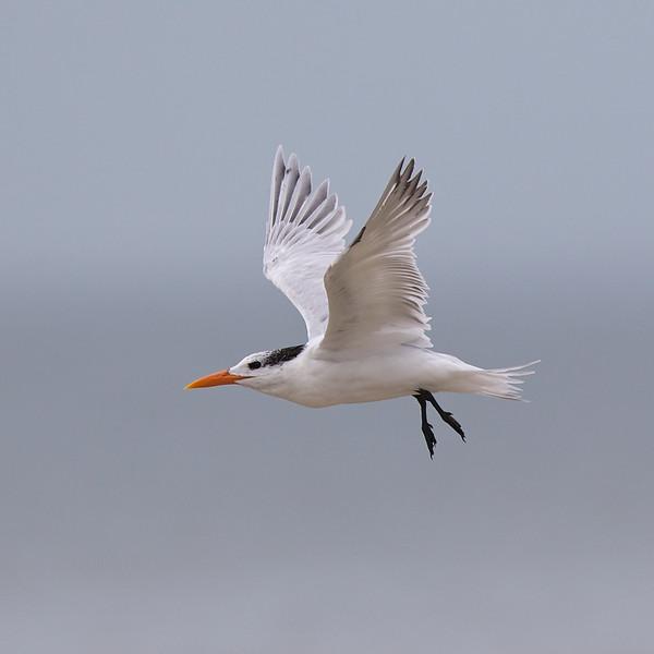 royal tern, bunche beach 1