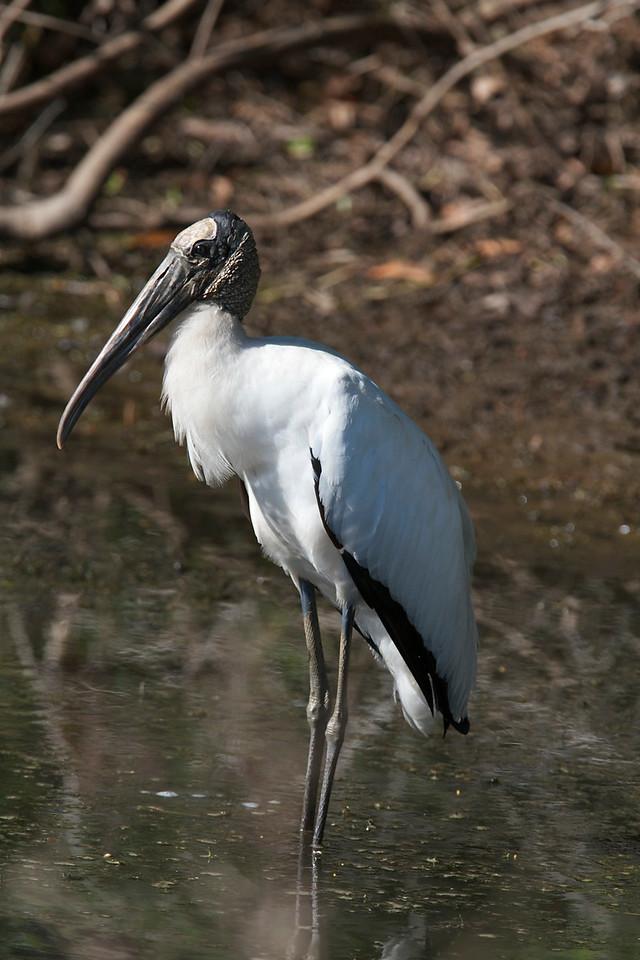 wood stork, ft myers