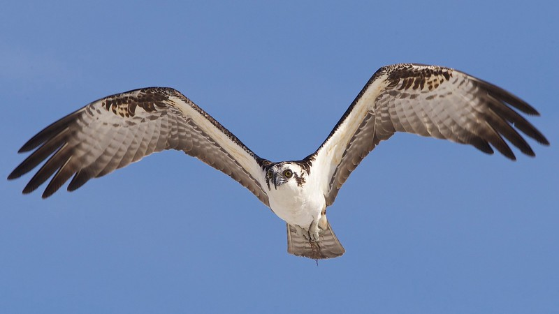 osprey. estero island