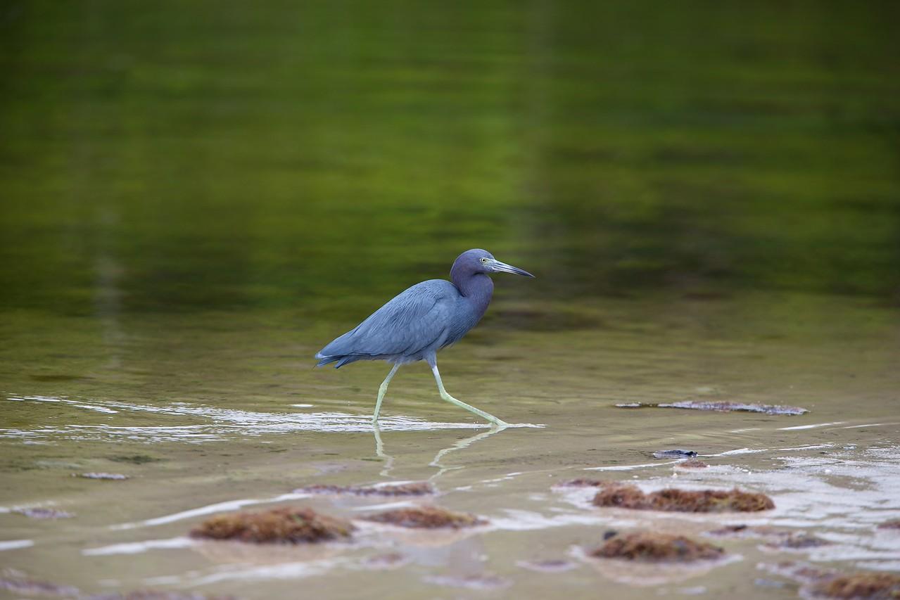 little blue heron, bunche beach