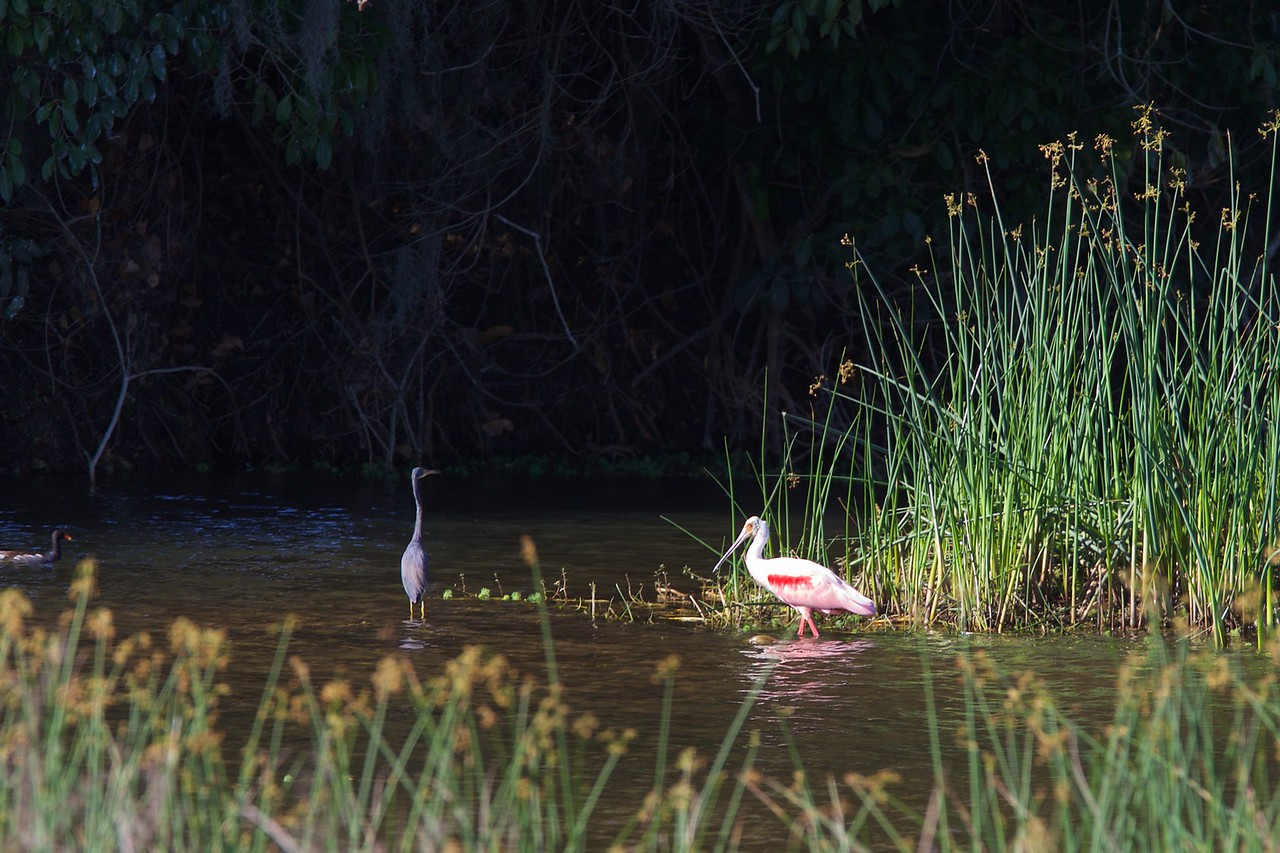 roseate spoonbill, harnes marsh