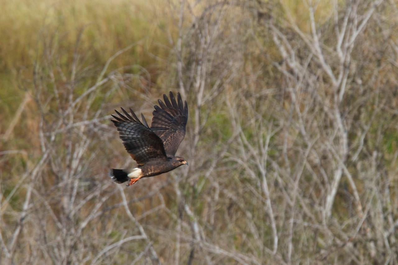 snail kite, harne's marsh
