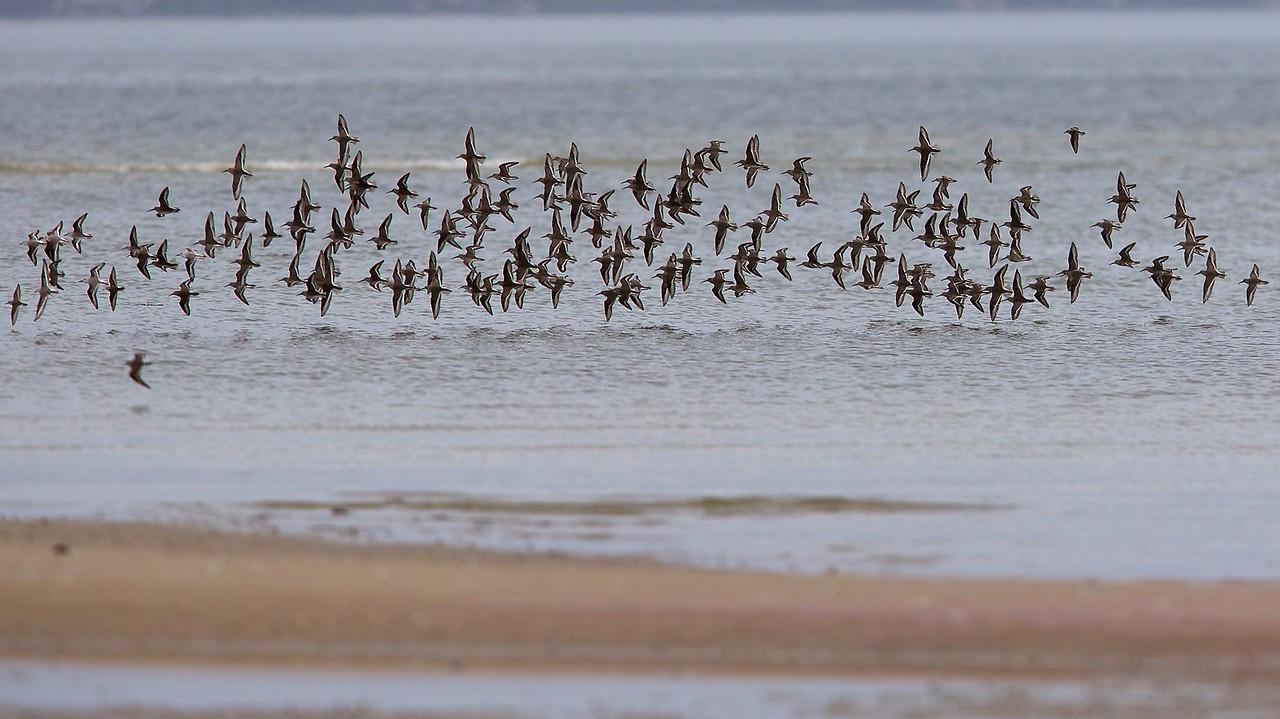 mixed flock of waders, bunche beach