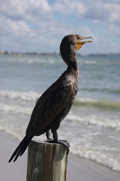 cormorant, estero island