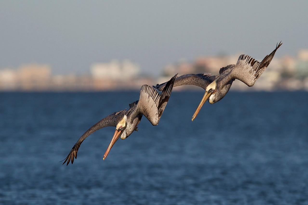 brown pelicans, estero island
