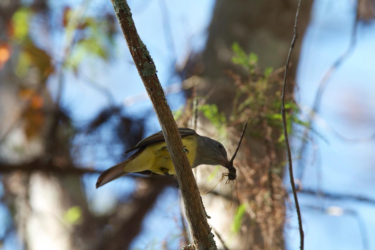 crested flycatcher, corkscrew reserve