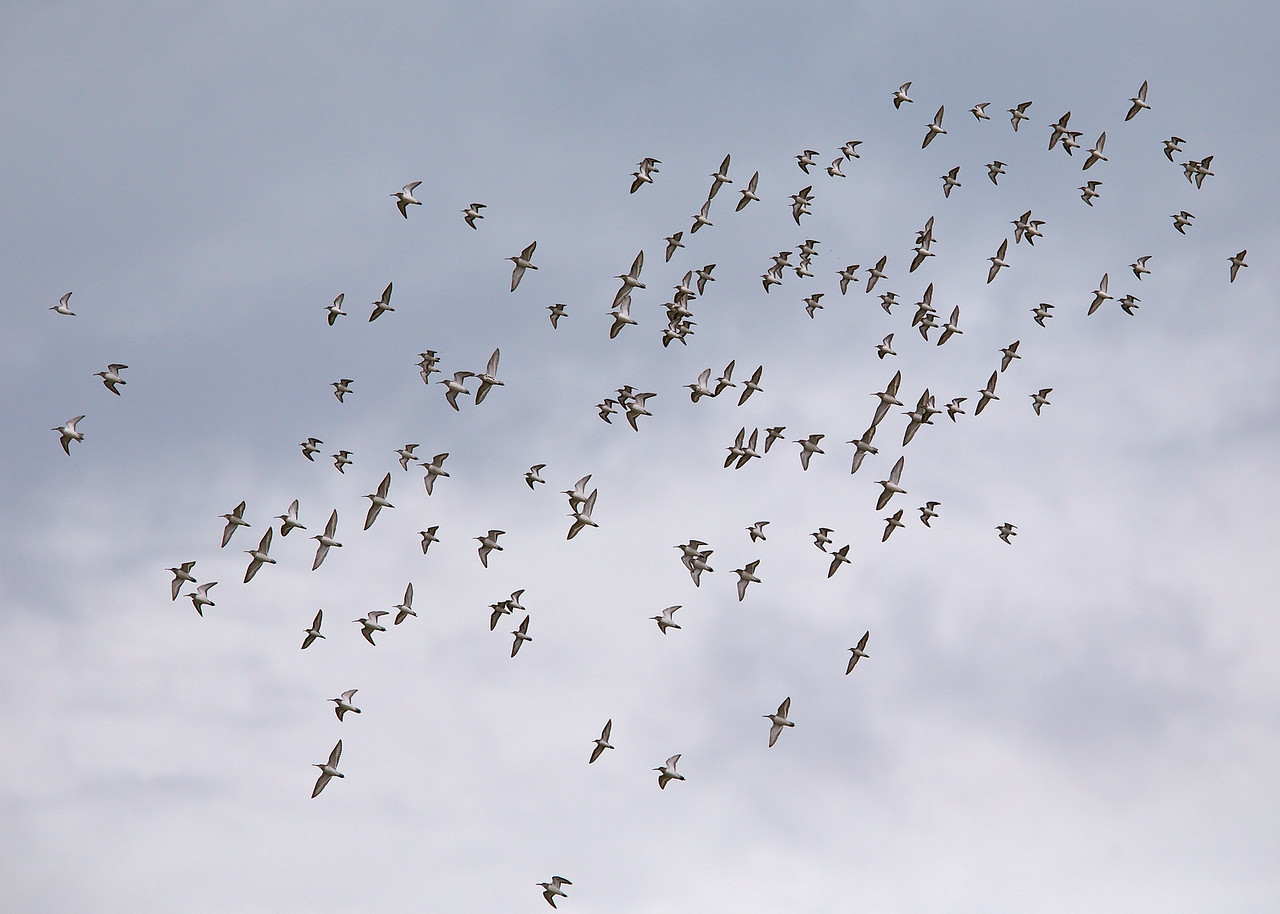mixed flock of waders  bunche beach