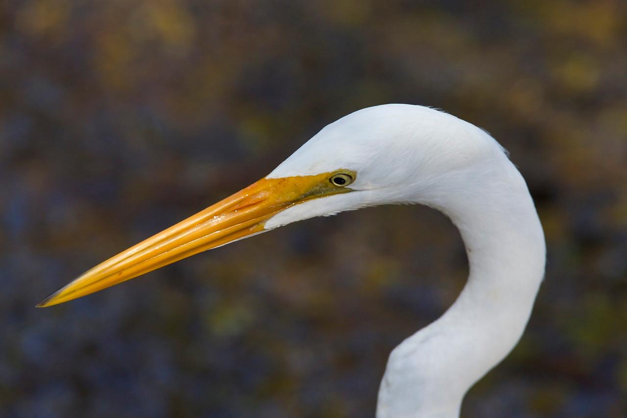 great egret, six mile