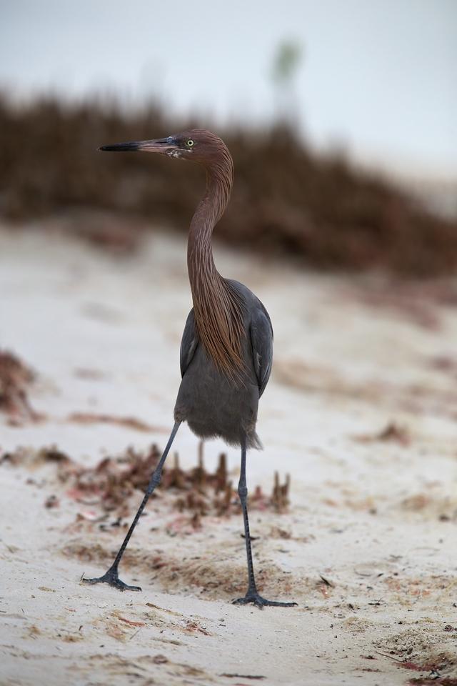 reddish egret, bunche beach