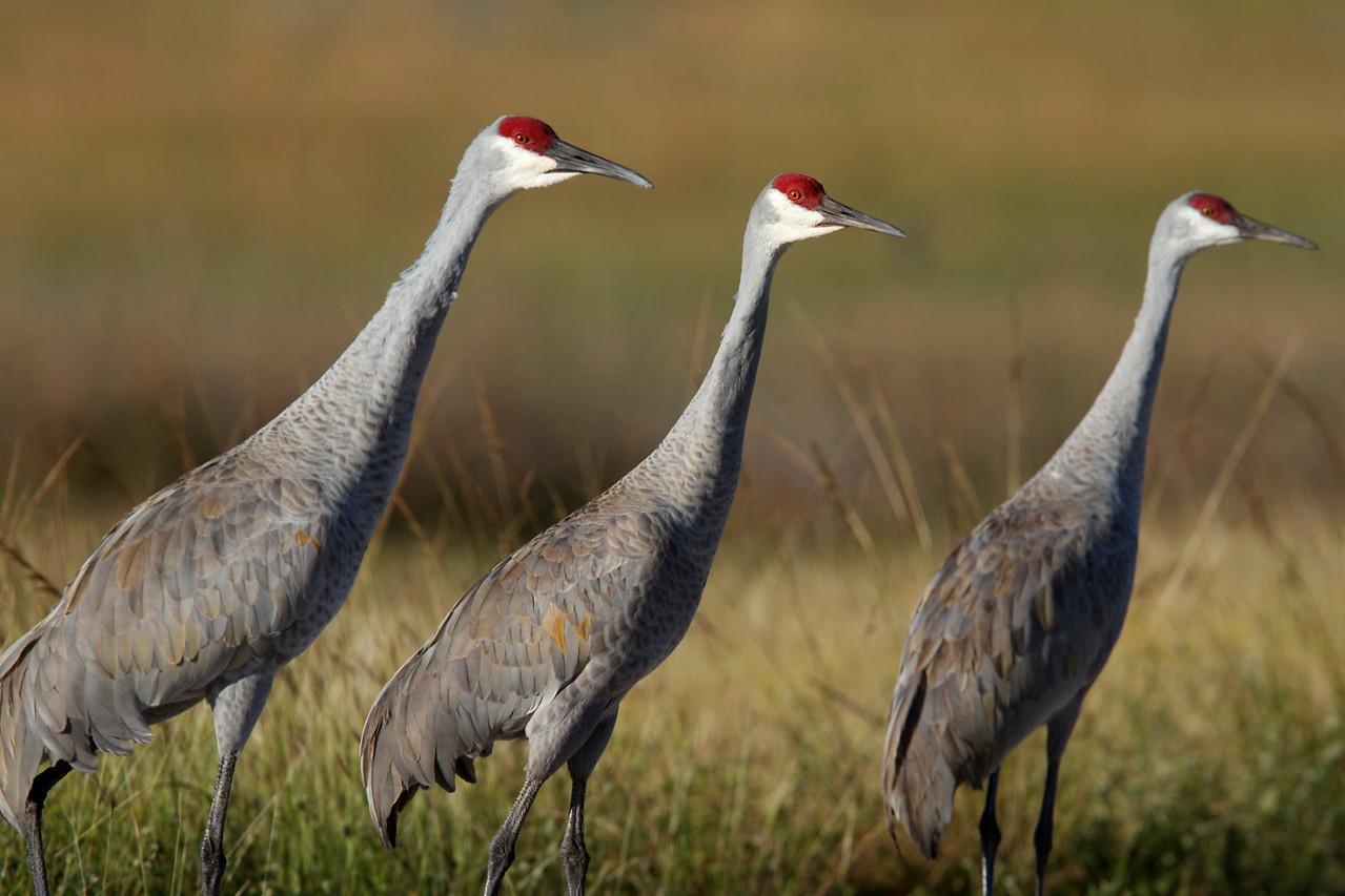 sandhill cranes, harne's marsh