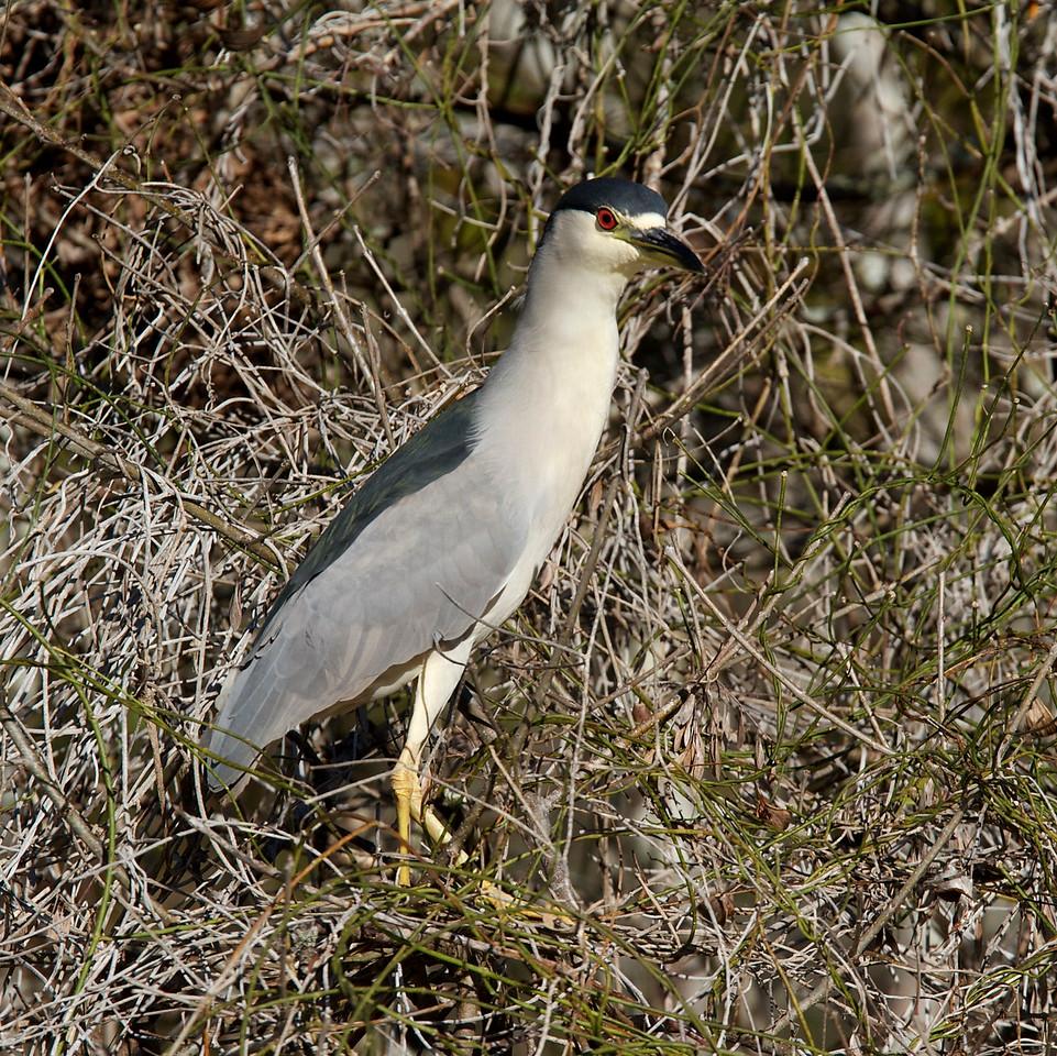 black crowned night heron, six mile