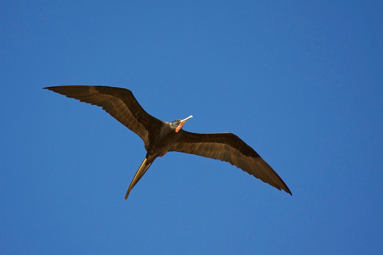 great frigate bird, estero island