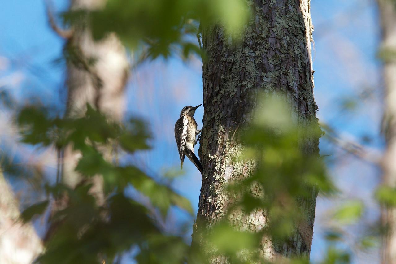 hairy woodpecker, six mile