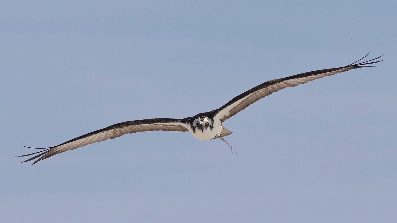 osprey, estero island