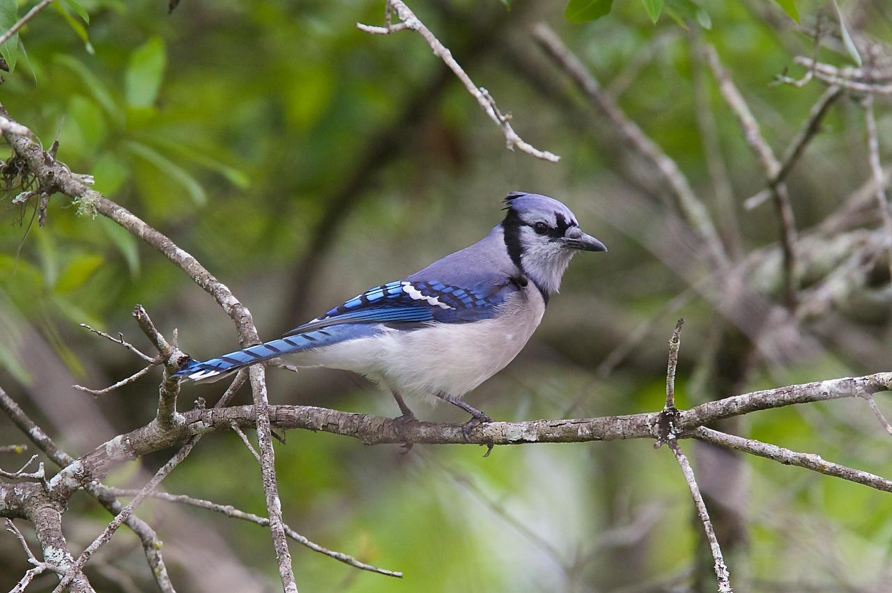 blue jay, six mile cypress