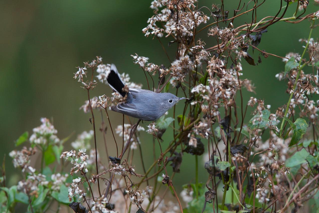 blue grey gnatcatcher, six mile cypress