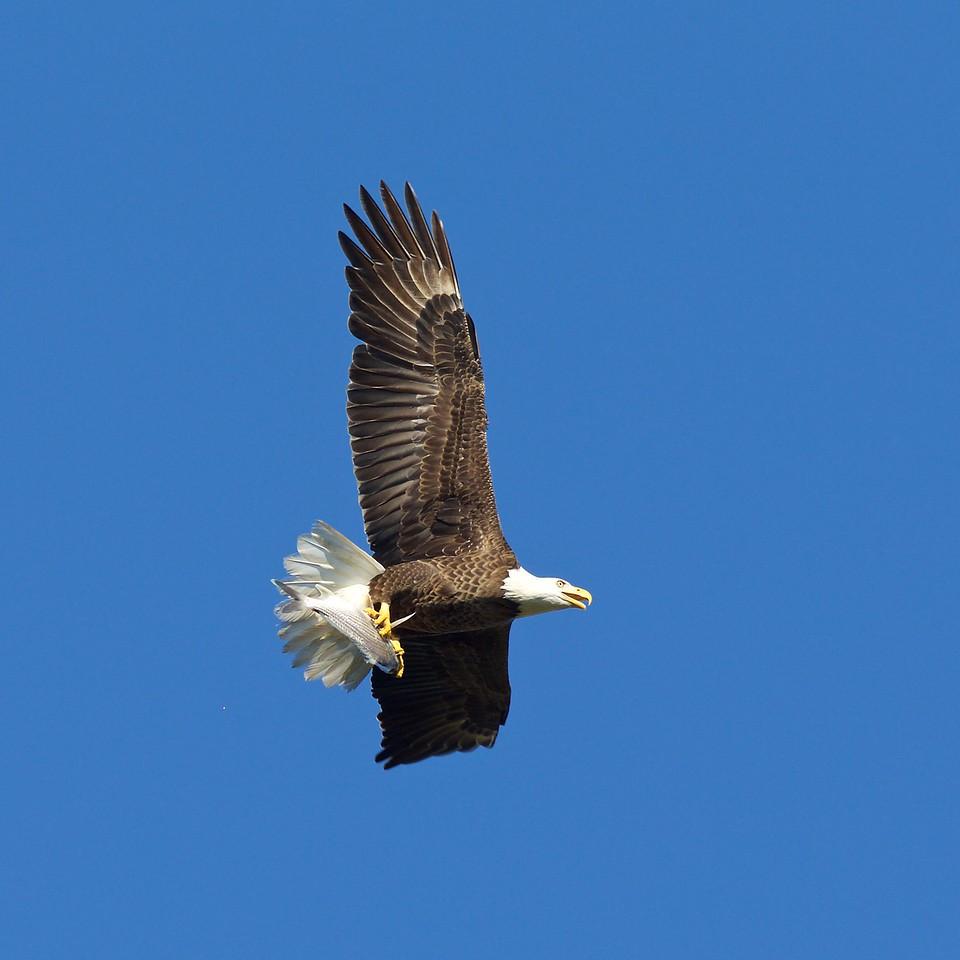bald eagle, harnes marsh 4