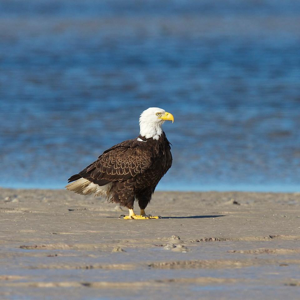 bald eagle, buche beach