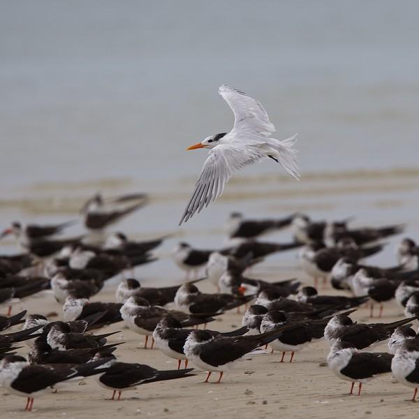 royal tern, bunche beach