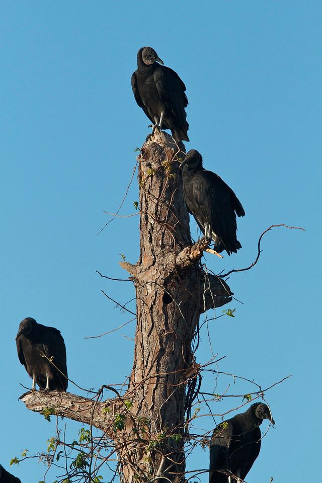 black vultures, corkscrew reserve