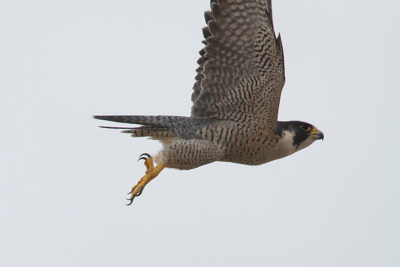 peregrine falcon, estero island