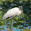 wood stork lakeland florida (lake morton)