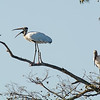 wood stork (record shot) circle b bar reserve lakeland florida