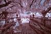 Cherry blossoms in MIami?