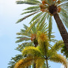 Date Palm trees, Florida.