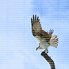 With wings out stretched a perched Osprey gets ready to fly.