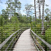 Boardwalk trail at Audubon Corkscrew Swamp Sanctuary in Naples, Florida a 2 miles hike through pine flat woods and wet prairie ecosystems within the Sanctuary.