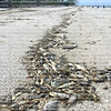 Toxic algae also known as red tide causes tremendous amounts of fish to wash up dead on Fort Myers Beach and other west coast cities in Florida.