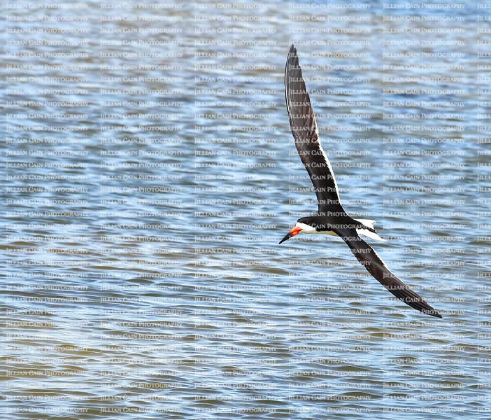 Black skimmer scanning the water for fish as she flies low over the Gulf of Mexico in Fort Myers Beach, Florida, USA.