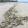 Beachgoers walking on the beach with thousands of fish, snakes, crabs washed ashore due to red tide on the beaches of the West Coast of Florida, USA.