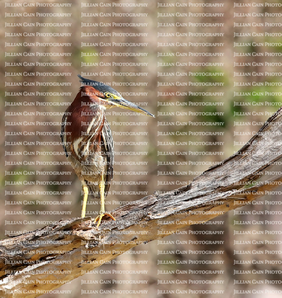 Beautiful green heron, groomed with every feather in place and is looking around for his soul mate.