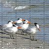 Close up of a flock of royal terns at the water's edge