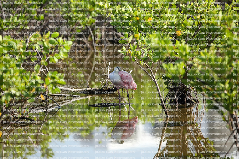 Roseate Spoonbill resting and keeping cool under the trees and shrubs in the back bay of Estero Island in Fort Myers Beach, Florida, USA.