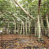 Gigantic Banyan Tree