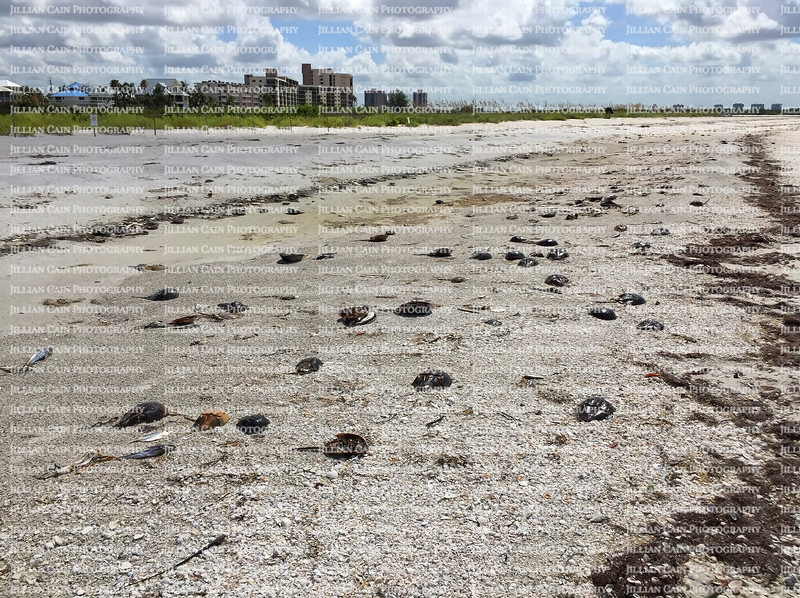 Thousands of horseshoe crabs and fish washed ashore due to red tide on Fort Myers Beach, Florida, USA.