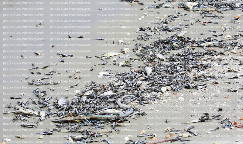Thousands of baby catfish, greenbacks and whiting fish washed up on shore due to toxic algae also known as red tide on Fort Myers Beach, Florida, United States of America.