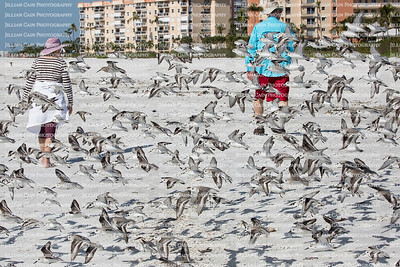 Startled by beach walkers, a flock of sanderlings birds take flight.