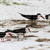 Groups of black skimmer parents taking care of their chicks on the Critical Wildlife Area on Estero Island, Fort Myers Beach, Florida, USA.