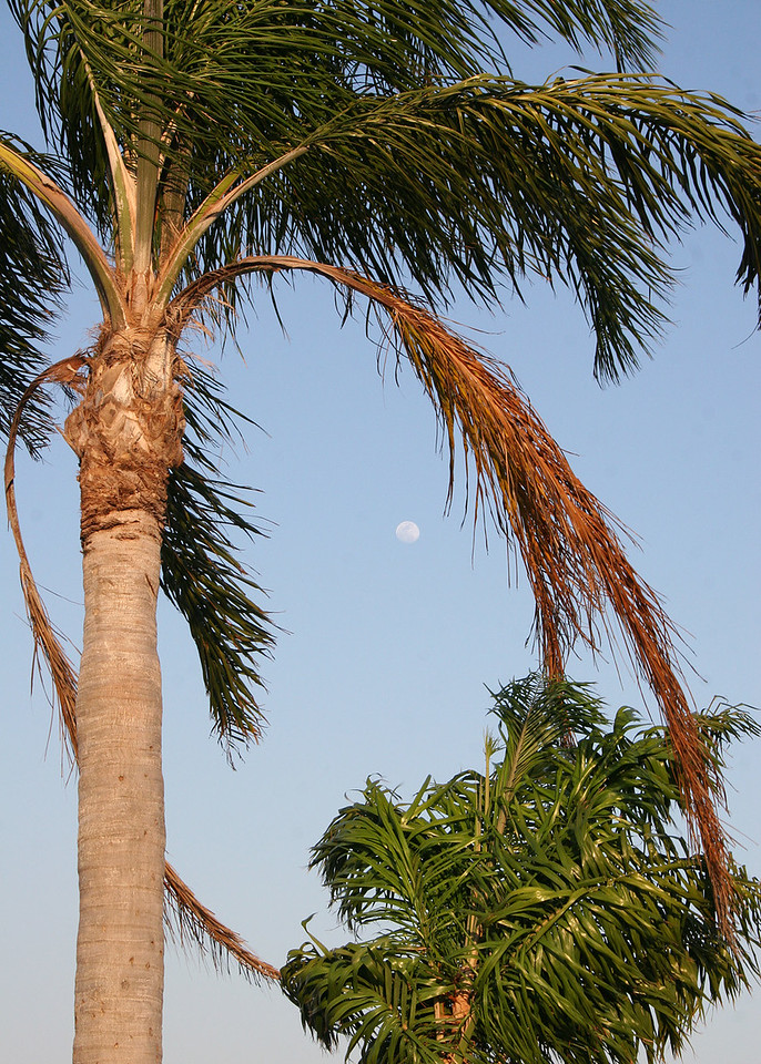 4/29/07 - The moon is caught in a circle of palm fronds