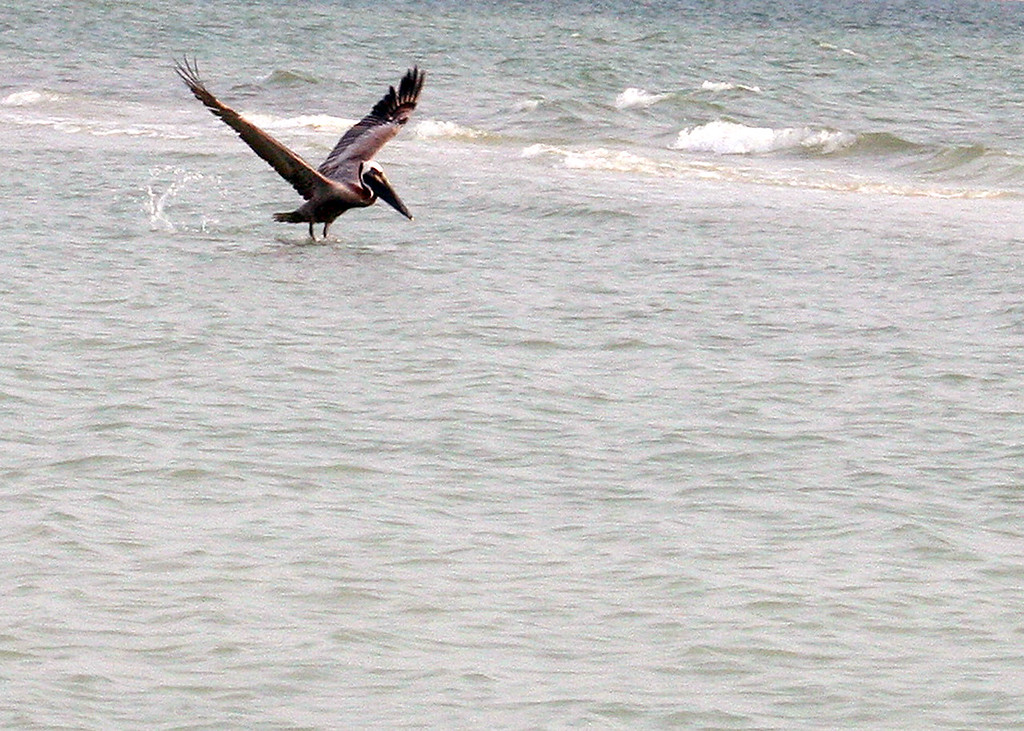 5/1/07 - Pelican swooping down at Tigertail Beach