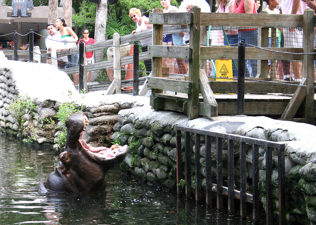 Hippo begging for treats from the visitors